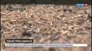 Новости на Россия 24 Крылатая угроза поля в Дагестане атакует саранча