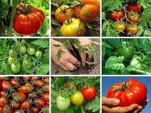 Подкармливаем томаты вовремя