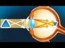 Глаз Развивающий мультфильм о строении глаза для детей