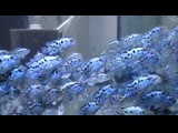 electric neon Blue Jack Dempseys cichlids