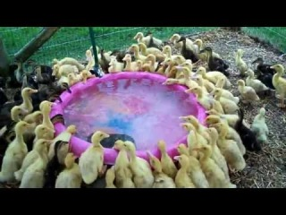 171 Ducklings Swimming In Their New Pool For The 1st Time 12 Raising Ducks Day 16