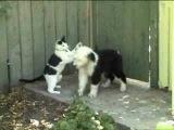 Бобтейл. Щенок и кошка. Смотреть с 0:50 сек