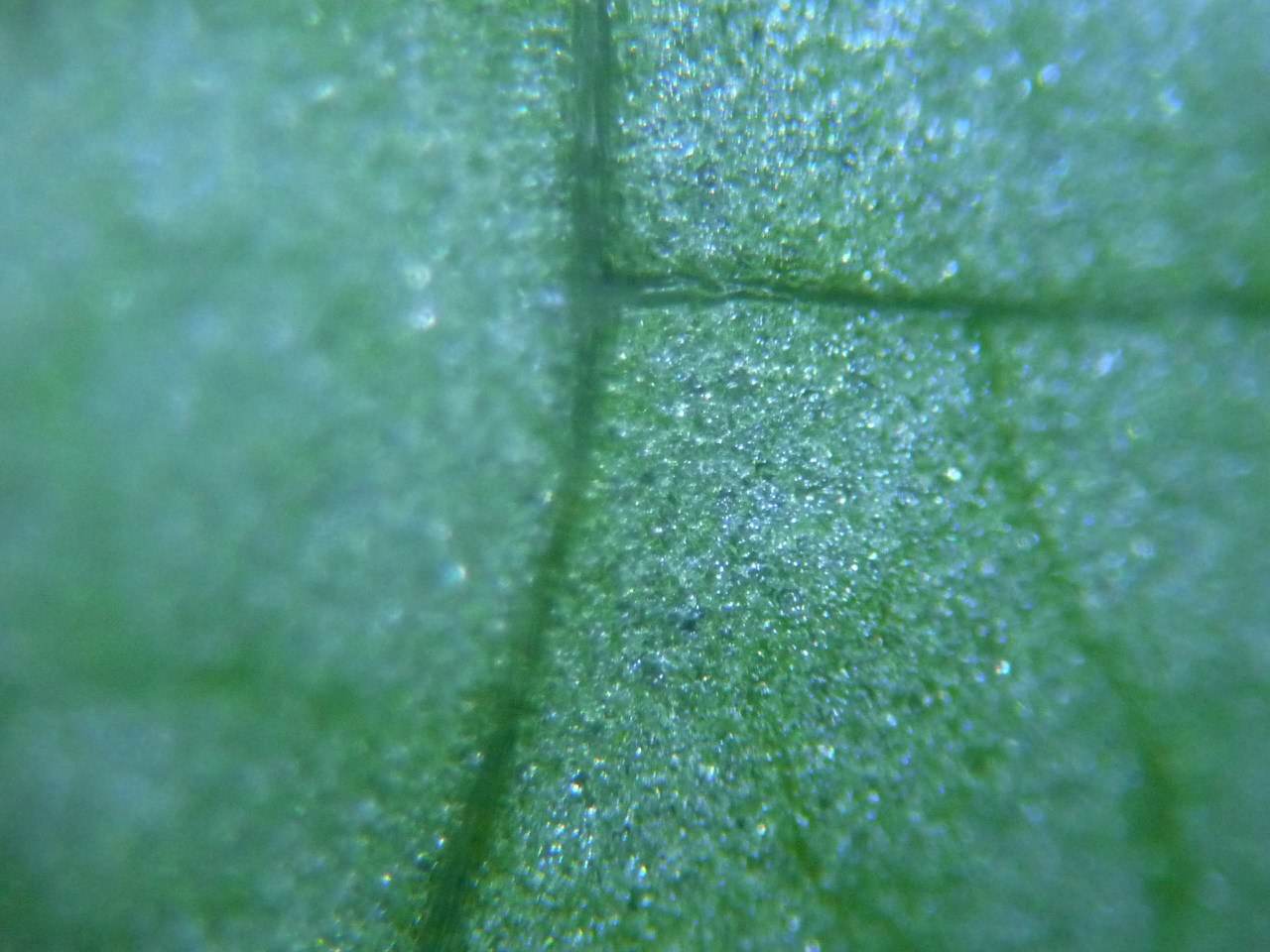 Лист салата под микроскопом