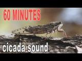 Summer cicada sound #  60 minutes cicada's songs.Stunning sound # Video FHD 1080p.
