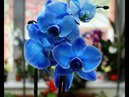 Семена из Китая Орхидея