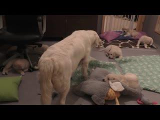 Как опытная собака-мама приучает свое голодное потомство к дисциплине