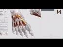 Мышцы стопы (тыльная поверхность) - детальный обзор 3Д