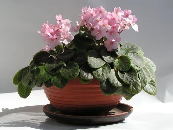Сенполия Сенполия это тот цветок, что можно встретить повсюду: на окошке у бабушки, на столе в офисе, у матерого цветовода и у начинающего любителя. Небольшая пушистая розетка, легко узнаваемая