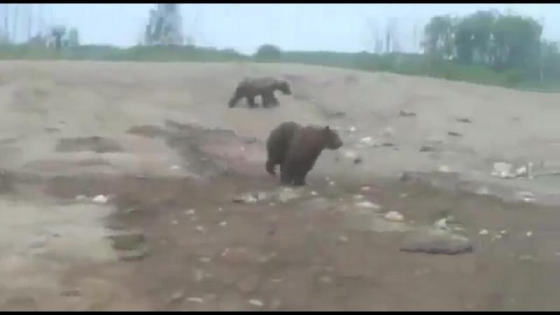 Из за вырубки леса медведи пошли кормиться на свалки Томской области