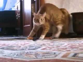 Кот встал и пошёл на задних лапах