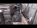 Отстрел Кабана 300кг с упора пулей Shot TOZ 25 and killed the boar 300 kg