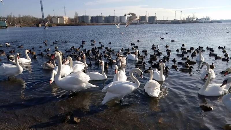 Дикие птицы у паромной переправы между Одессой и Черноморском(2)