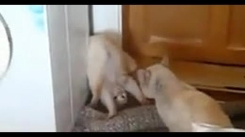 Научили кота косить под дуру