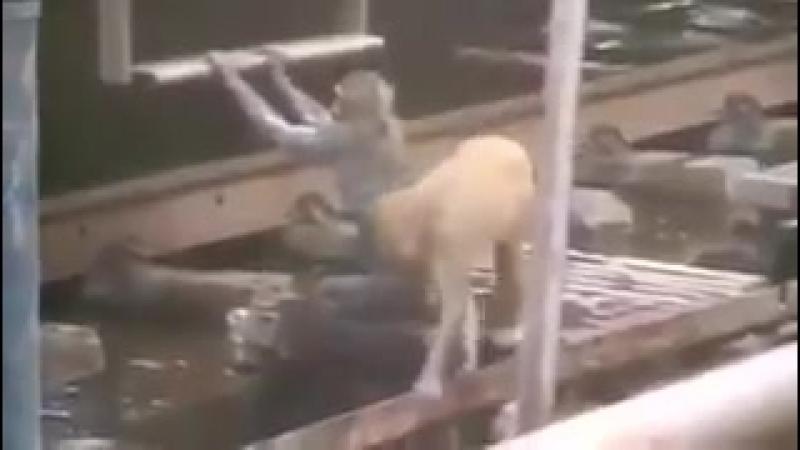 Обезьянка спасла жизнь другой обезьяны потерявшей сознание после удара током на вокзале города Канпур