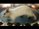 Дегу, вариант 3 - Yakety Sax музыка из Шоу Бенни Хилла