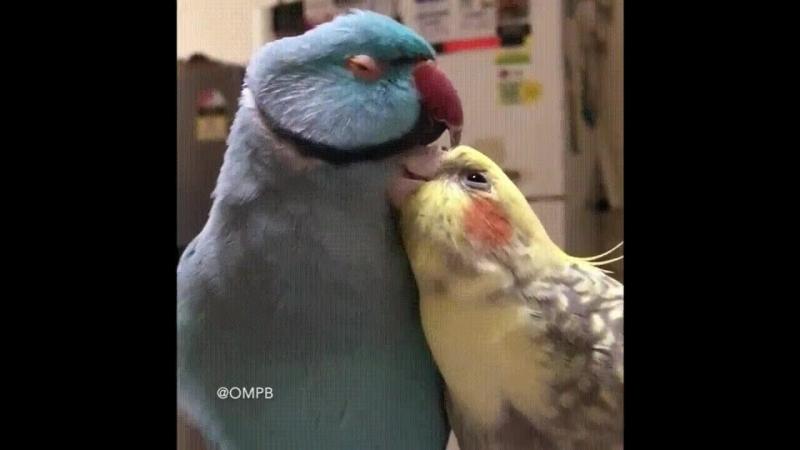 папуги любятся