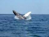 Прыжок кита, залив Самана, Доминиканская республика