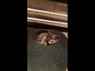 Отдадим в добрые руки (котёнок 2 мес и мама кошка)