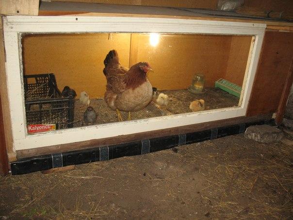 Клетка для клуши с цыплятами своими руками 38