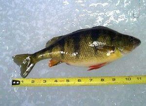 долгоиграющая прикормка на окуня у рачительного рыболова не пропадет ни одна приманка. зимой часто остается мотыль, который к следующим выходным придет в негодность. так что из остатков приманки