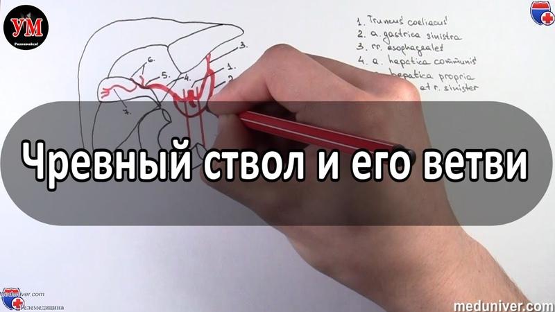 Чревный ствол и его ветви - meduniver.com