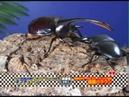 Palawan Stag Beetle VS Neptune Beetle