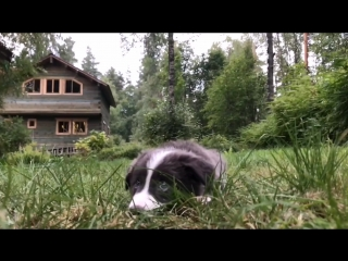 border collie Shouler 2 month and his tricks
