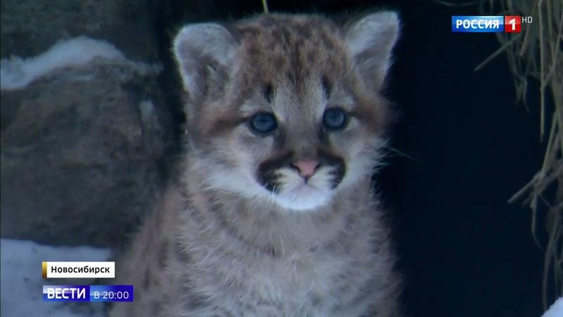 Вести в 20:00 • Рождение пум стало главной сенсаций новосибирского зоопарка
