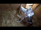 Щенки от вязки пит-бульдогов AREY и TERRY (2 месяца). Ореховая палка в логове пираний...