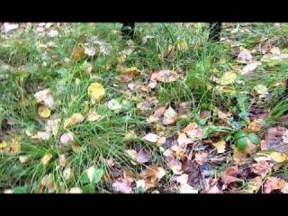 белые грибы в сибири видео