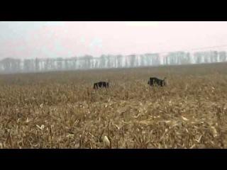 гон кабана в кукурузе