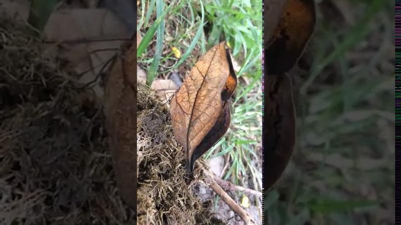 Orange oakleaf Butterfly Живое опровержение теории эволюции