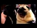 Собака зовёт бэтмена :-D