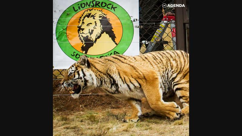 Новая жизнь спасённого тигра