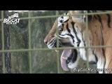 Daily Big Cat - 9-22-14 - Bengali vs. The Puzzle Box