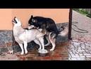 САМЫЙ СМЕШНОЙ ЖЕНИХ СИБИРСКОЙ ХАСКИ. Cool fun Siberian Huskies.