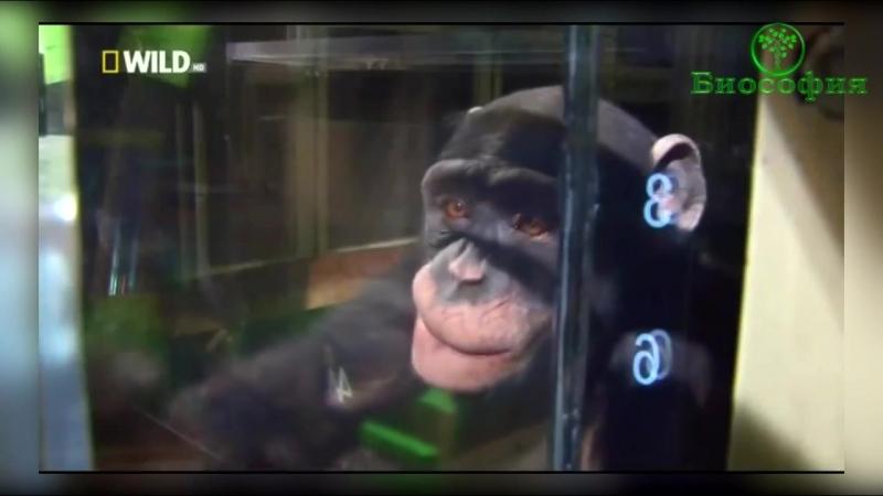 Тест для обезьяны с исчезающими квадратами на мониторе