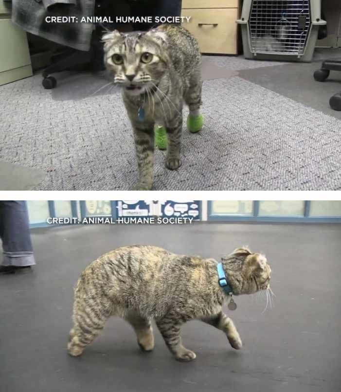 Из-за морозов кошка потеряла уши хвост задние лапы фото