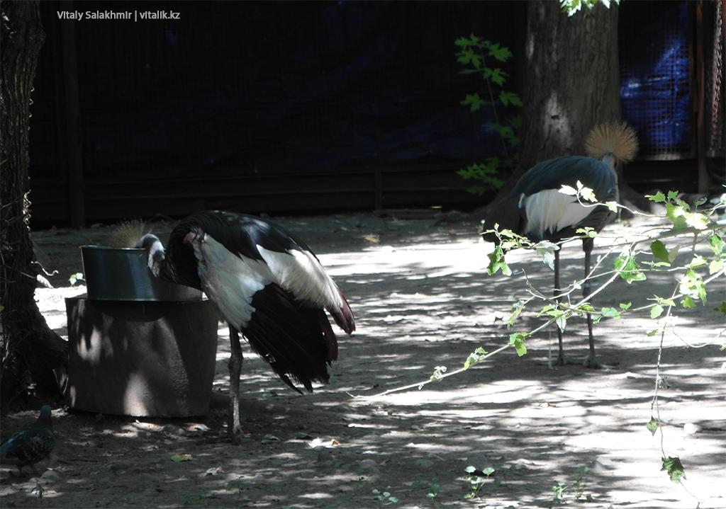 Венценосный журавль, зоопарк Алматы 2018