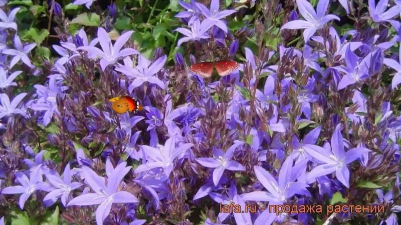 Колокольчик пожарского Стелла (campanula stella) 🌿 обзор_ как сажать, рассада к