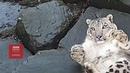 Як сніговий леопард зрадів відеокамері