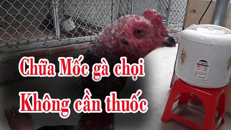 Gà chọi: Chữa mốc cho gà chọi không dùng thuốc tây, cách chăm sóc và chữa bệnh gà chọi hiệu quả