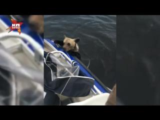 Карельские рыбаки поймали сачком двух тонущих медвежат