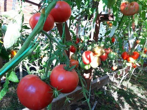Срочные работы с томатамиОбзор 12 июля Секреты раннего урожая крупноплодных томатов