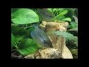 Гурами жемчужный Trichogaster leeri