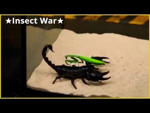 ★Insect War★Scorpione gigante nero contro mantide religiosa | Black giant scorpion against mantis