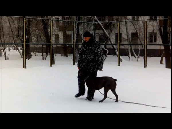 дрессировка Кане Корсо