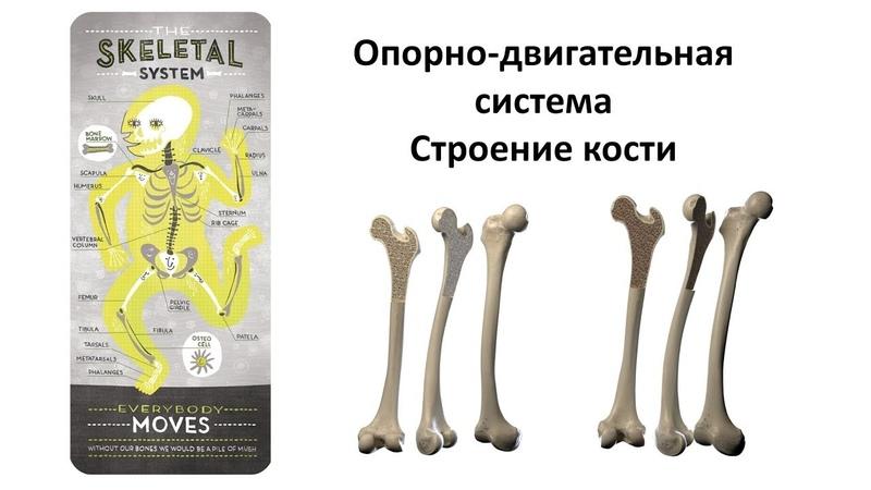 Опорно-двигательная - кости