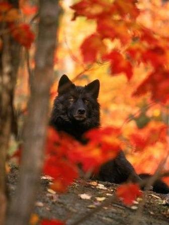 осенний волк