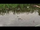 Лягухи хотят трахацо